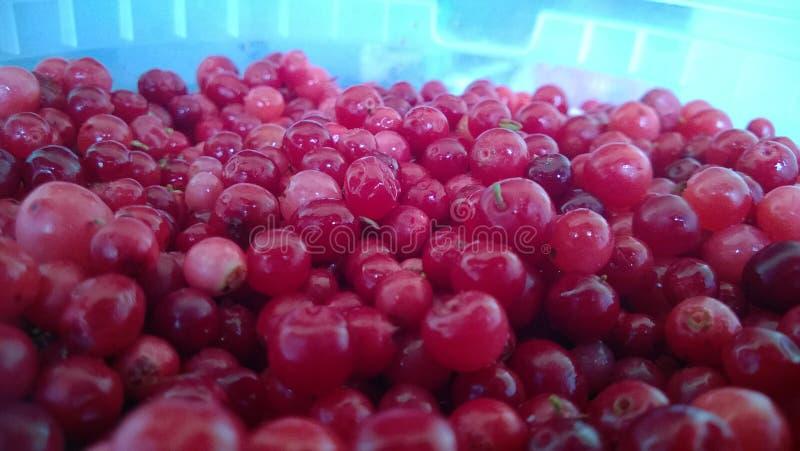 Ranberry frukt för Ð-¡ av Vacciniumoxycoccos royaltyfri foto
