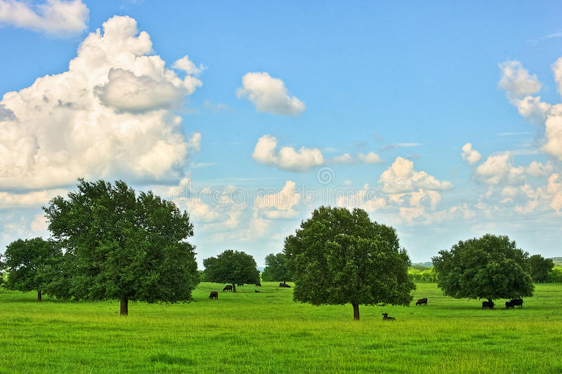 Ranch Cattle Under a Blue Sky and Clouds. Black Angus ranch cattle with oak trees under a blue sky and white clouds. Photographed on the Back Roads of the Texas royalty free stock photo