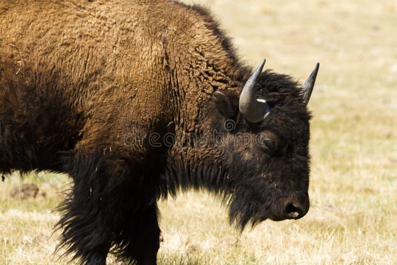 Download Ranch della Buffalo fotografia stock. Immagine di picchi - 30825318