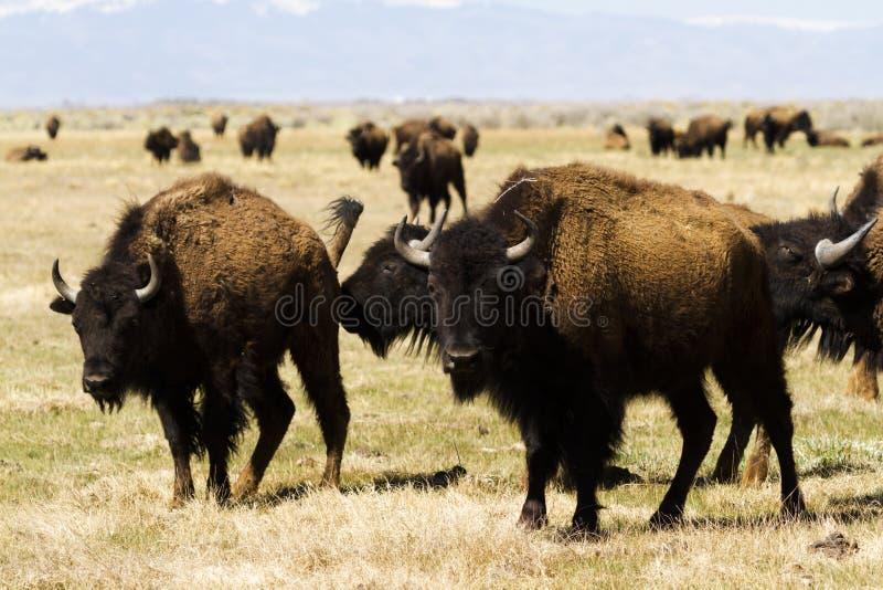 Download Ranch della Buffalo fotografia stock. Immagine di animale - 30825332
