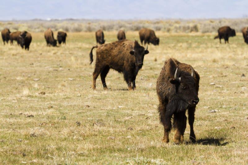 Download Ranch della Buffalo immagine stock. Immagine di landforms - 30825383