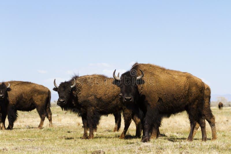 Download Ranch della Buffalo immagine stock. Immagine di animali - 30825421