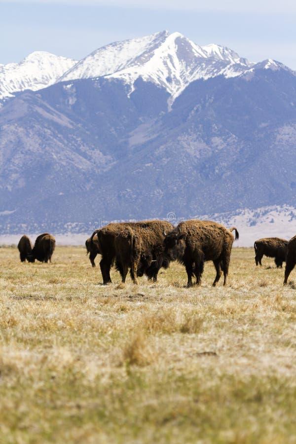 Download Ranch della Buffalo immagine stock. Immagine di piccolo - 30825495