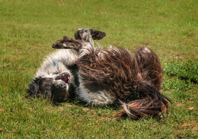 Ranch Dog (Border Collie) Rolls in the Grass royalty free stock photography