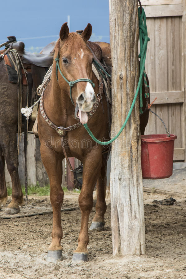 Ranch horse with mouth open. And tongue out royalty free stock images
