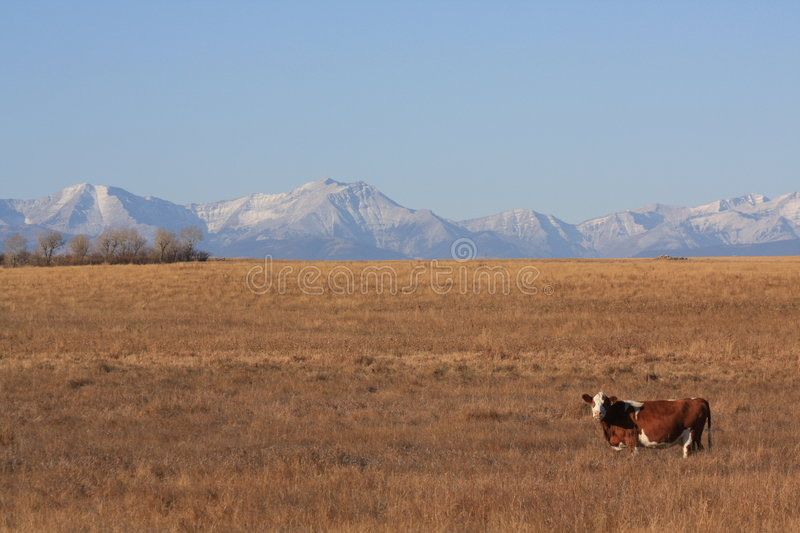 Ranching in the mountains. Cattle ranching in southern alberta royalty free stock image