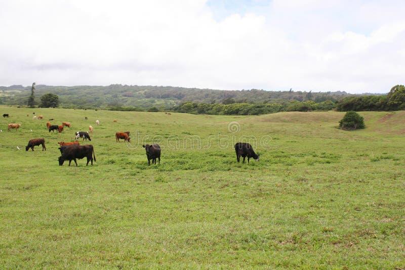 Rancho de ganado de Kappau Hawaii imagen de archivo