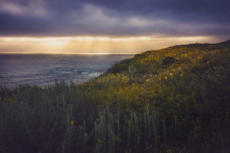 Rancho Palos Verdes Super Bloom. Beautiful black-eyed susan flowers covering the cliffs during the California Super Bloom of 2017, Rancho Palos Verdes royalty free stock images