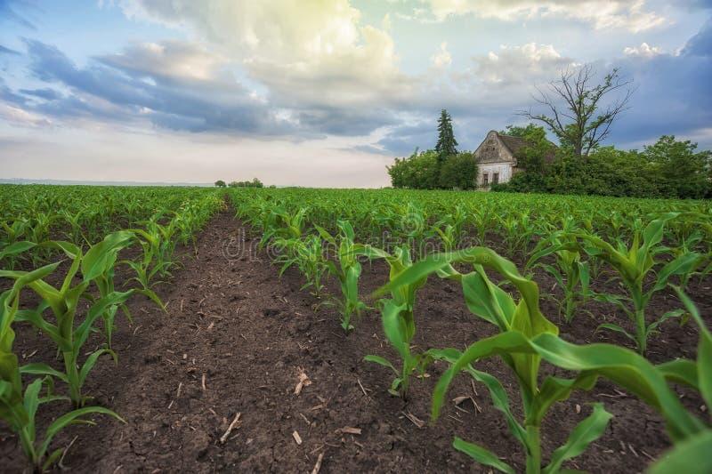 Rancho velho abandonado agrícola de Fileds do milho fotografia de stock
