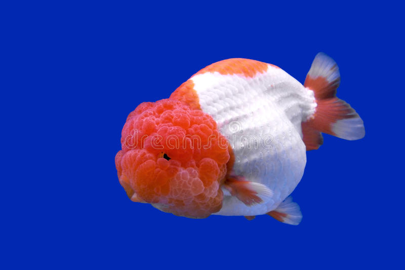 Ranchu Lion Head Goldfish Fish Tank Photos Free Royalty Free Stock Photos From Dreamstime