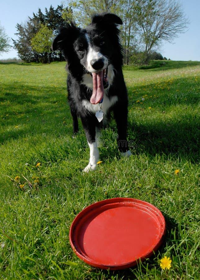 Rand-Collie und roter Frisbee stockfoto