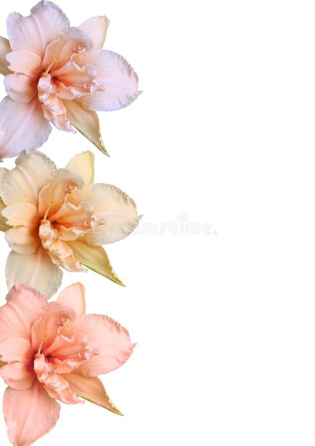 Rand von den Taglilien lizenzfreie stockfotografie