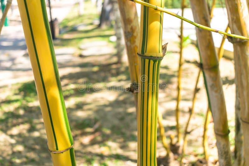 Randig bambu med gr?na linjer i djungel under solljus royaltyfri bild