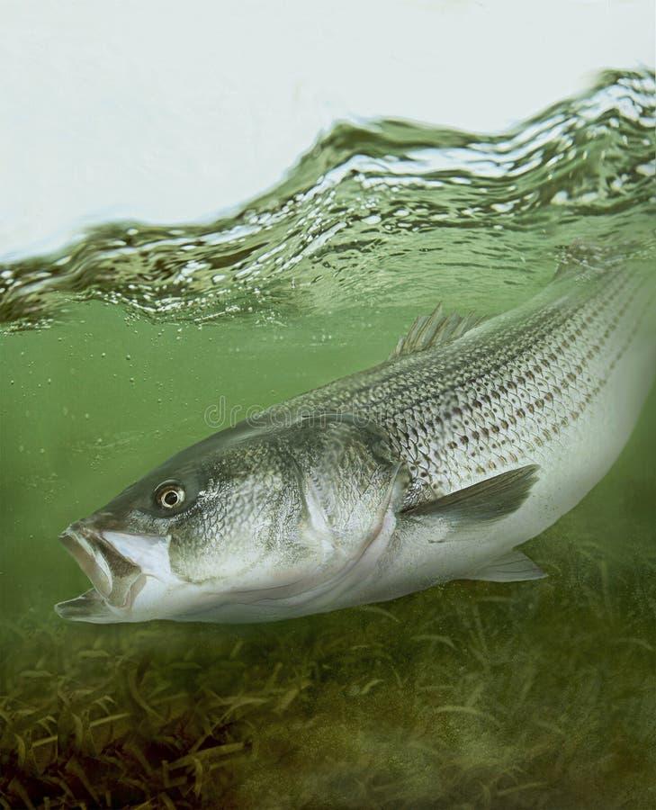 Randig bas- stripersaltvattensfisk arkivfoto