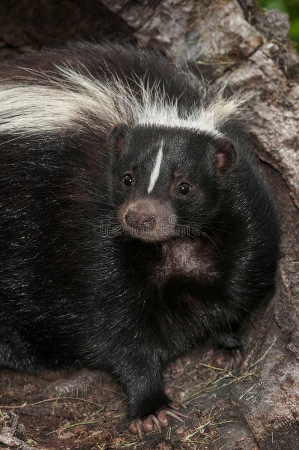 Randig Closeup för skunk (Mephitismephitis) royaltyfria foton