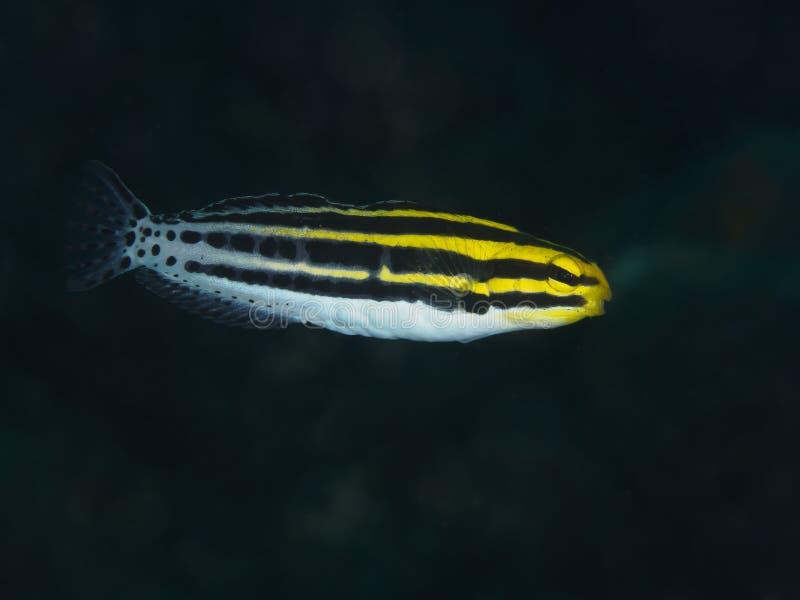Randig gift-huggtand för korallfisk blenny royaltyfri foto