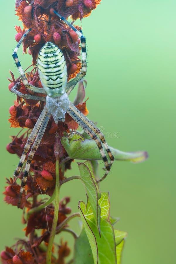 Randig guling-svart kvinnlig getingspindel Bruennichi för Wasp spindelArgiope på växten i natur royaltyfria bilder