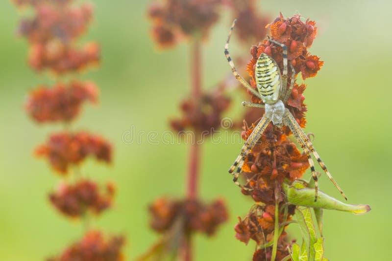 Randig guling-svart kvinnlig getingspindel Bruennichi för Wasp spindelArgiope på växten i natur royaltyfri foto