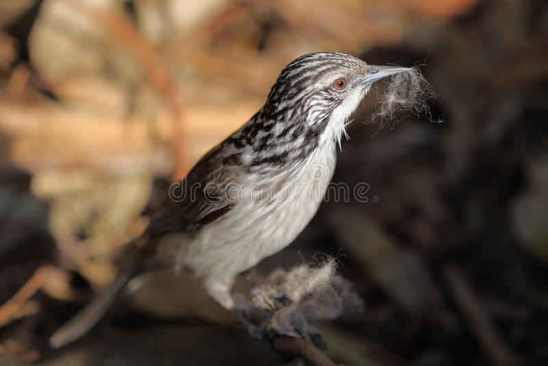 Randig Honeyeater fågel royaltyfria foton