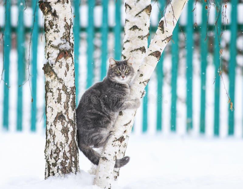 randig katt som sitter på ett björkträd i en lantlig snöträdgård för vinter och ser rak luddpäls arkivbild