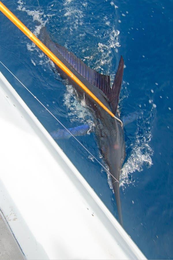 Randig Marlin som är gaffeds för att komma med på sportfiskebåten royaltyfria foton