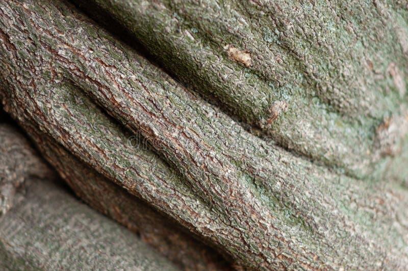Randig präglad textur av det bruna träskället Grön lichened yttersida av ett träd, mjuk fokus, närbild arkivbild