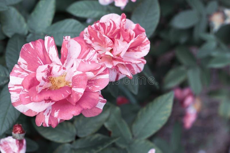 Randig rosa och vit ros Ferdinand Pichard på bakgrunden av grön lövverk med kopieringsutrymme Selektiv fokus, tappningtoning royaltyfri bild