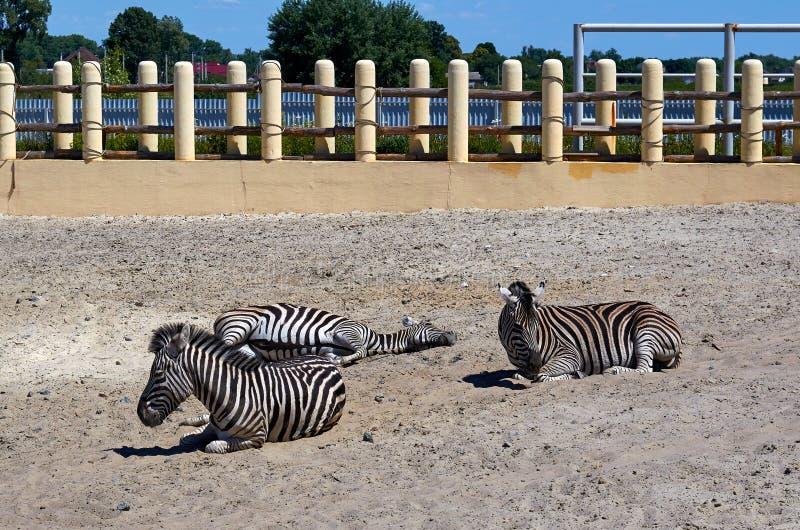 Randig sebragrupp som lägger på jordningen i zoo arkivbilder