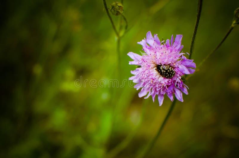 Randig skalbagge i blomman arkivbild