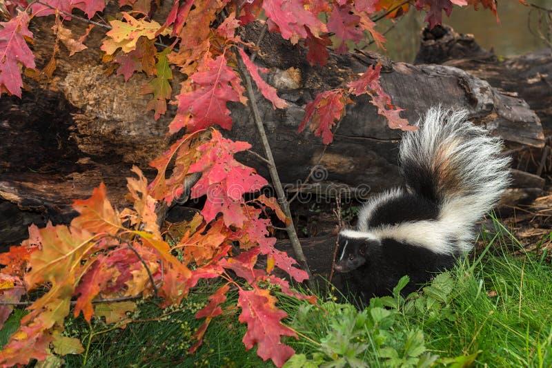 Randig skunk (Mephitismephitis) vid Autumn Leaves och journalen royaltyfri fotografi