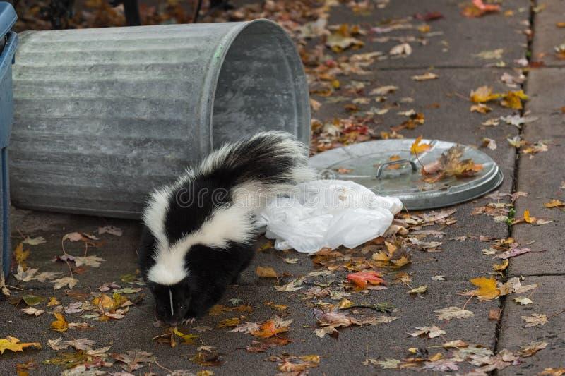 Randig skunk (Mephitismephitis) vid Overturned soptunnan royaltyfria foton