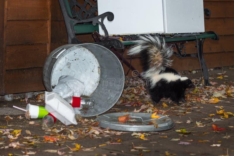 Randig svans för skunk (Mephitismephitis) upp vid soptunnan fotografering för bildbyråer