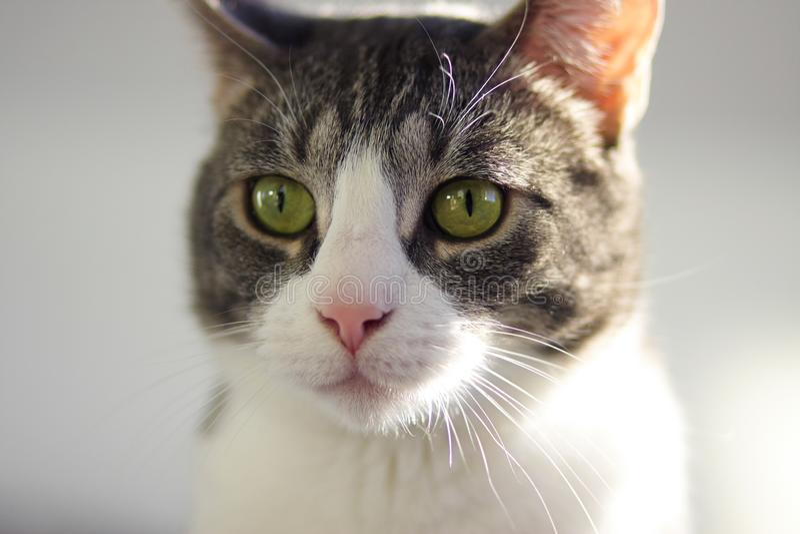 Randig tillgiven katt för grå färger med ljust - gröna ögon royaltyfri foto