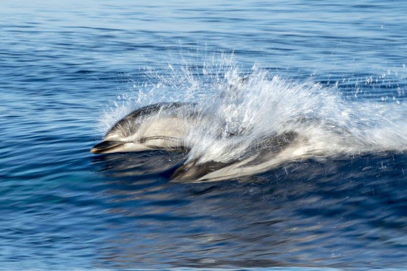 Randiga delfin, medan hoppa i det djupblå havet arkivbilder
