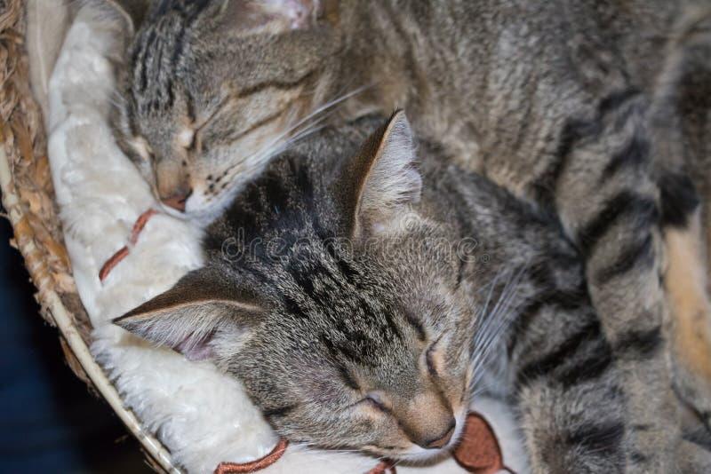 Randiga katter som tillsammans sover royaltyfri bild