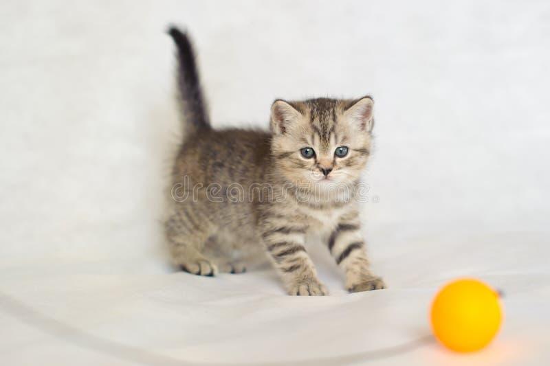 Randigt behandla som ett barn den gulliga kattungen för den brittiska strimmiga katten royaltyfria bilder