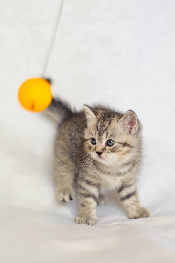 Randigt behandla som ett barn den gulliga kattungen för den brittiska strimmiga katten, strimmig lagfärg arkivfoto
