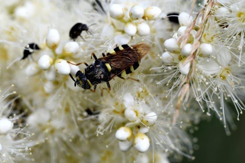 Randigt bi i pollen royaltyfria bilder