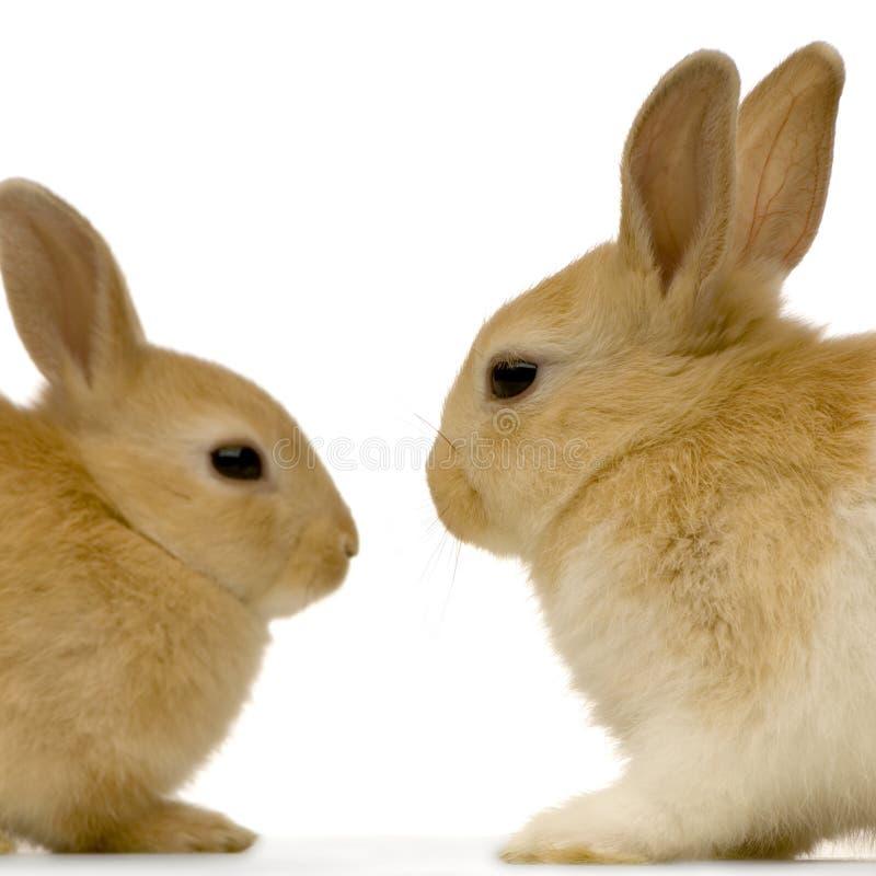 randki króliki obrazy stock
