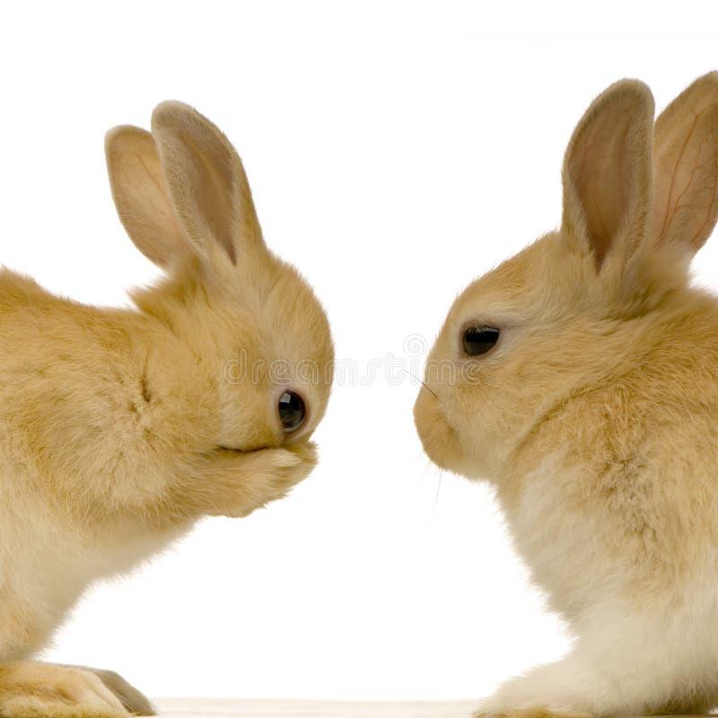 randki króliki zdjęcie royalty free