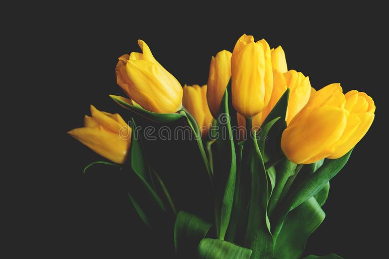 A random bouqet of yellow tulips on a black background.  royalty free stock photo