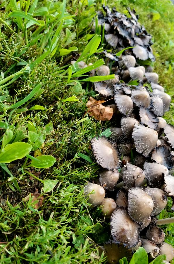 Mushroom patch. Random patch of mysterious mushrooms that suddenly appeared in this world. & x28;P.s. not there anymore& x29 stock photos