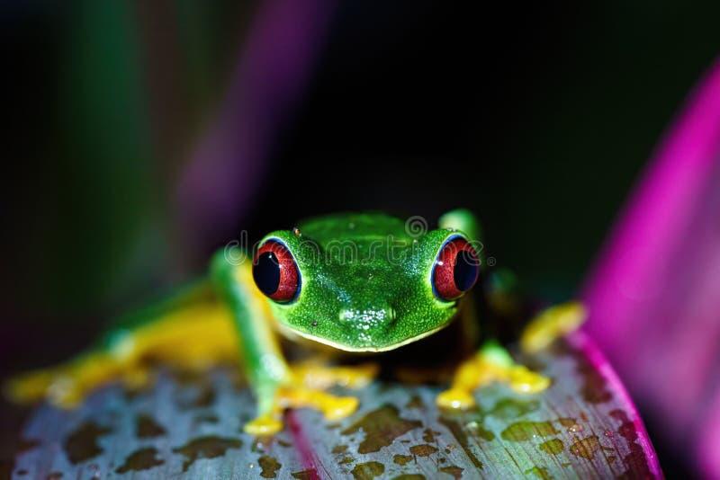 Rane ad albero dagli occhi rossi e#x28;Agalychnis callidryas) ritratto di primo piano di una foglia, scattato in Costa Rica fotografie stock