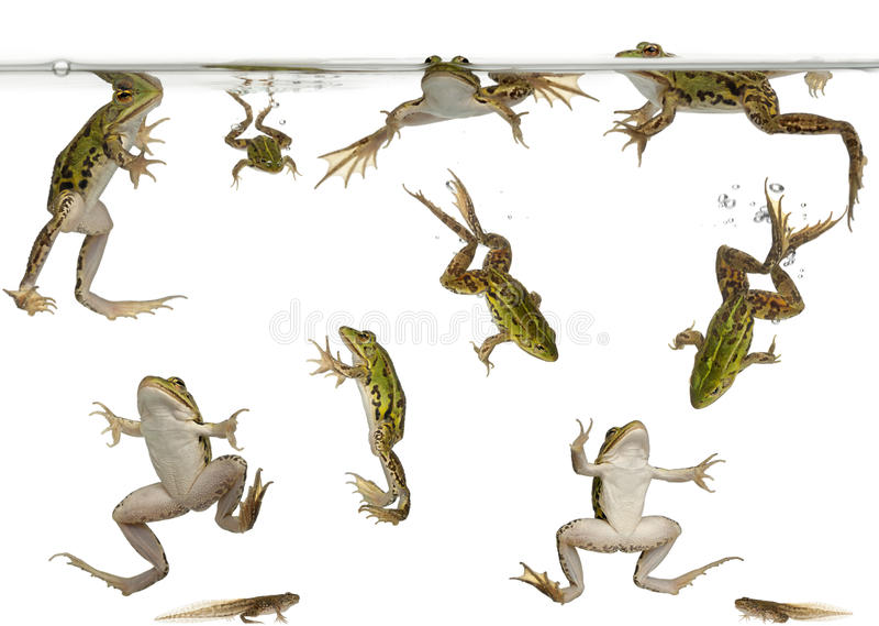 Rane commestibili e tadpoles che nuotano fotografia stock