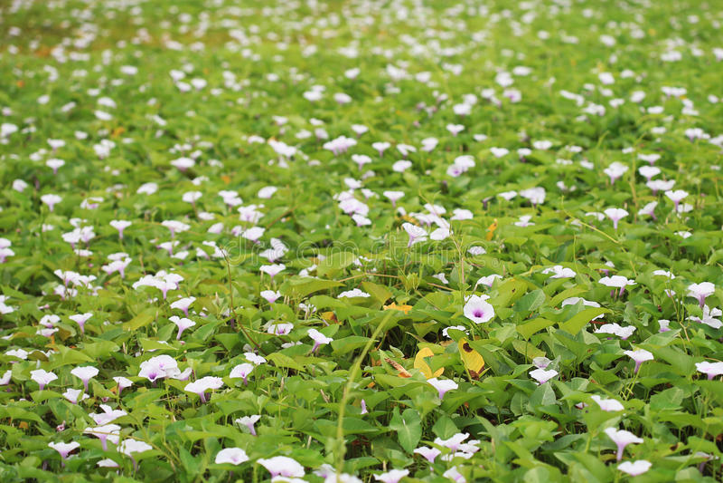 Ranek chwały kwiatu pole zdjęcie stock