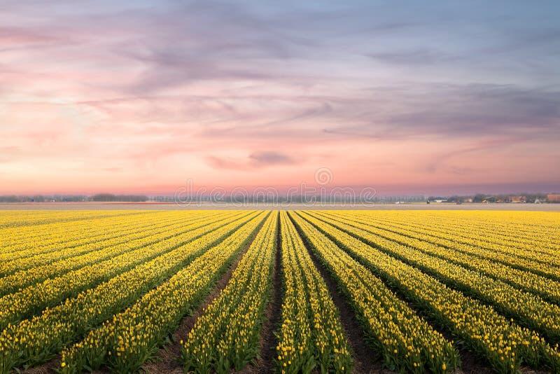 ranek holenderscy tulipany zdjęcie royalty free