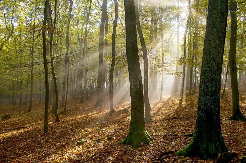 Ranek mgła x27 i sun&; s promienie w drewnach zdjęcia royalty free