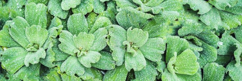 Ranek natury tło z piękną kroplą Rośliny wodne z wodnym kropla sztandarem tęsk format zdjęcia stock