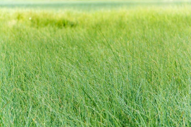 Ranek rosa na świeżej zielonej trawie, żywi wibrujący kolory na łące, kopii przestrzeń, zdrowy utrzymanie, joga, relaks obraz royalty free