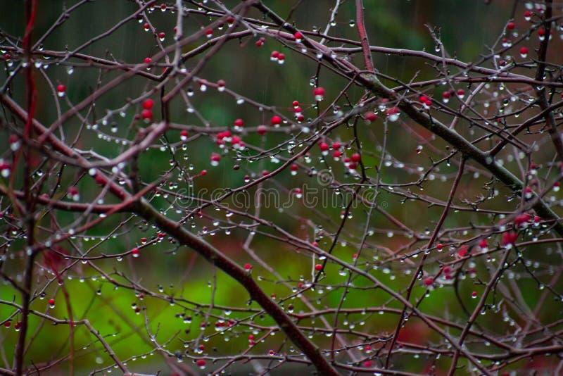 Ranek rosa na Jagodowym drzewie zdjęcie royalty free